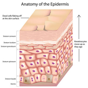 anatomy of epidermis